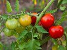 Didesni ir skanesni pomidorai - su CO2